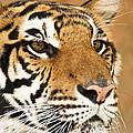 Eye Of The Tiger. by Parawat Isarangura Na Ayudhaya
