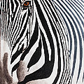 Eye Of The Zebra II by Mike Robles