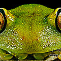 Eye-ringed Bushfrog by Dante Fenolio