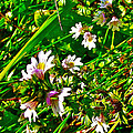 Eyebright On Trout River Trail In Gros Morne Gros Morne National Park-newfoundland  by Ruth Hager