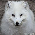 Eyes Of The Arctic Fox by Nick Gustafson