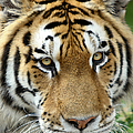 Eyes Of The Tiger by John Haldane