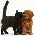 F1b Goldendoodle Pup With Kitten by Mark Taylor