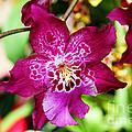 Fabulous Fushia Orchids By Diana Sainz