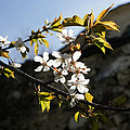 Facades And Fruit Trees - The Church And The Plum by Georgia Mizuleva