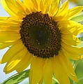 Face To Face With A Sunflower by Maria Urso