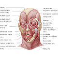 Facial Muscles Of The Human Face by Stocktrek Images