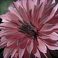 Faded Pink Dahlia by Athena Mckinzie