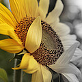 Faded Sunflower by Melvin Busch