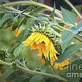 Fading Sunflower by Carol Groenen