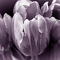 Fading Tulip Flowers Lavender Gray Monochrome by Jennie Marie Schell