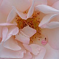 Faintly Pink - Rose by Maria Urso