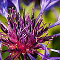 Fairy Dust - Centaurea by Matt Dobson