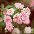 Fairy Roses by Bethany Helzer