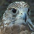 Falcon  by Leticia Latocki