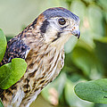 Falcon At Rest by Peg Runyan