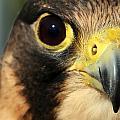 Falcon Focus by David Bouchard