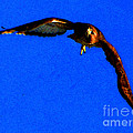 Falcon In Blue by Ron  Tackett