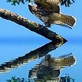 Falcon Reflect by Susan Garren
