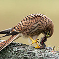 Falcon's Breakfast  by Torbjorn Swenelius