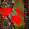 Fall Aflame by Ronda Broatch