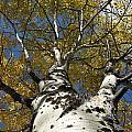 Fall Aspen by Frank Madia