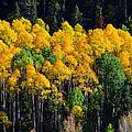 Fall Aspens by David Lee Thompson
