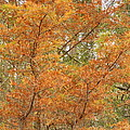 Fall Beauty by Ione Hedges