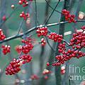 Fall Berries by Ulli Karner