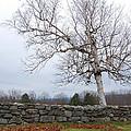 Fall Birch by George Bogosian