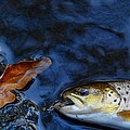 Fall Brown Trout by Thomas Young