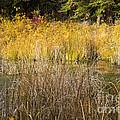Fall Color At Banff Spring Basin by Bob Phillips