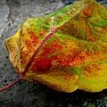 Fall Colors On A Downed Aspen Leaf by Aaron Burrows