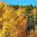 Fall Colors On The Colorado Aspen Trees by Amy McDaniel