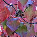 Fall Dogwood Leaf Colors 2 by Duane McCullough