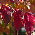 Fall Dogwood Leaves by Scott Hervieux