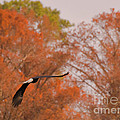 Fall Eagle by Scott Hervieux