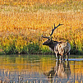 Fall Elk Reflection by Todd Roach