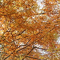 Fall Foilage by Ione Hedges