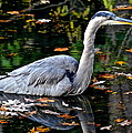 Fall Foliage And Fowl by Frozen in Time Fine Art Photography