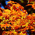 Fall Foliage Colors 16 by Metro DC Photography
