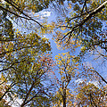 Fall Foliage - Look Up 2 by Kirkodd Photography Of New England