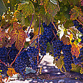 Fall Grape Harvest by Garry Gay