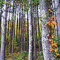 Fall Ivy In Pine Tree Forest by Duane McCullough