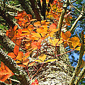 Fall Ivy On Pine Tree by Duane McCullough