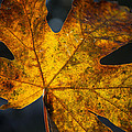 Fall Leaf by Charlie Duncan