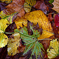 Fall Leaves 1 by Skip Willits