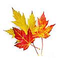 Fall Maple Leaves On White by Elena Elisseeva