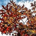 Fall Maple Leaves by Robert Bales