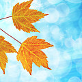 Fall Maple Leaves Trio With Blue Sky by Jit Lim